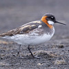 Unlike most sexually dimorphic species, the female Red-necked Phalarope is more colorful than the male and has a very limited role in raising the next generation. Photo by guide Cory Gregory.