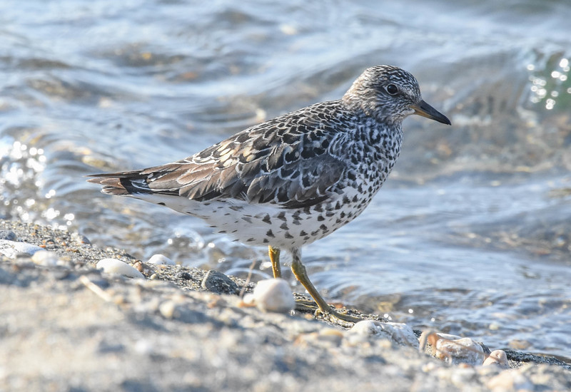 Participant Becky Hansen shared this portrait of a robust Surfbird. Check out the lovely heart-shaped spots on the flanks.