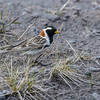 A male Lapland Longspur in breeding plumage is a treat rarely seen off the breeding grounds. Photo by participant Pete Peterman.