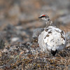 ...Rock Ptarmigan. Here is one molting out of its white winter plumage. Photo by participant Pieter Poll.