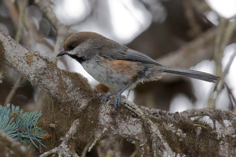 It's not all seabirds and large birds on Alaska tours, of course. There are boreal specialties, such as this Boreal Chickadee photographed by guide George Armistead...