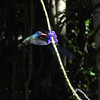 This male White-chinned Sapphire was one of several enjoying the verbena flowers at the lodge. (Photo by guide Dan Lane)