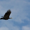 A Blue-throated Piping-Guan -- this itinerary sees two species of piping-guans, this one in the Pantanal...