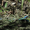 And here's one: this Amazonian (formerly Blue-crowned) Motmot was sunning in the freshly cut grass of the lodge. (Photo by guide Dan Lane)