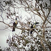 Waving their oversized bills and yelping is how White-throated Toucans claim their turf. (Photo by guide Dan Lane)