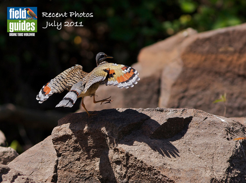 We have a great mix of high latitude and tropical photos in this month's gallery, from Peru with Dan Lane to Spitsbergen with John Coons to Alaska, Borneo, and much more. But let's begin in Brazil, where guide Marcelo Padua captured this revealing image of a fantastic Sunbittern.