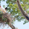 In this final image from the Alta Floresta & Northern Pantanal tour, a wonderful twofer: Hyacinth Macaws at right crowd into a trunk's opening right across from a massive Jabiru nest! The largest macaw right next to the largest New World stork. (Photo by guide Marcelo Padua)
