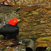This striking male Red-capped Manakin was down for a quick dip at a pool in the forest at Carara Biological Reserve in Costa Rica. (photo by participant Kevin Heffernan)