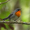 Flame-throated Warbler is an eye-catching resident of the highland forest of Costa Rica and western Panama -- a regional endemic. It's currently placed in the same genus as something more familiar to many of us -- the Northern Parula.  (photo by participant Kevin Heffernan)