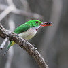 Endemic to the island of Hispaniola, the common Broad-billed Tody is an amazing creature to watch.  It is generally found at lower elevations than the closely related Narrow-billed Tody, another of the island's endemics.  (photographed in the Dominican Republic by guide Jesse Fagan)
