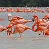 Still in Middle America but shifting a bit northward, a large flock of American Flamingos, photographed on our Mexico: Yucatan & Cozumel tour by participant Charles Lowe.