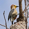 Two more Yucatan specialties nicely photographed by participant Charles Lowe: here, a Yucatan Woodpecker...