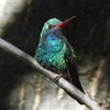 Southeast Arizona is, of course, famed in the US for its hummingbirds.  Pat brought back this nice portrait of a Broad-billed Hummingbird seen in Madera Canyon southeast of Tucson.