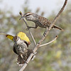 ...and a pair of Yucatan Wrens (if they look familiar to some of you, it's probably because they are in the same genus as and closely related to Cactus Wrens of the American Southwest).