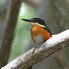 Charles also returned with this close-up portrait of a tiny American Pygmy Kingfisher, which ranges from Mexico to Brazil and Bolivia.