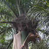 Palmchats nest communally; here's one of their large stick nests in, not surprisingly, a palm tree!  (photo by guide Jesse Fagan)