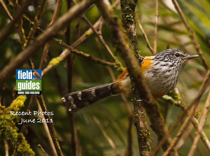 """This month's """"cover"""" photo for our recent tour images is a lovely one by participant Kevin Heffernan of a Long-tailed Antbird from one of our Ecuador: Rainforest & Andes tours. It's an attractive small bird in the genus Drymophila, which includes 8 species of bamboo-loving birds, 6 of them confined to SE Brazil, with another one in Amazonia and this one in the Andes from Colombia to Bolivia."""