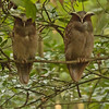 ...and these day-roosting Crested Owls--what great faces! (Photo by participant Kevin Heffernan)