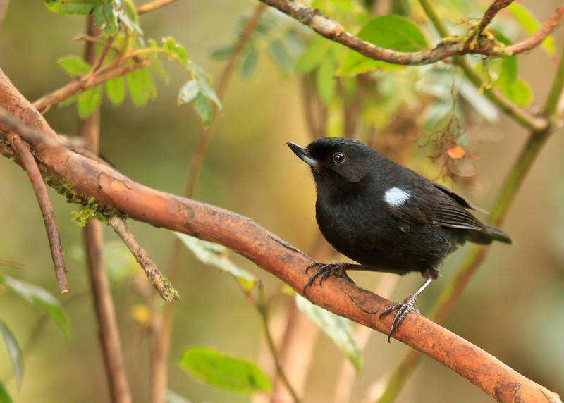 ...and this Glossy Flowerpiercer.