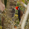We'll close out Kevin's Ecuador photos with a couple of great sightings: first, this fantastic Powerful Woodpecker...