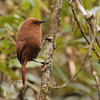 In Ecuador, Rufous Wren is found in small groups in the temperate zone forest. (Photo by participant Kevin Heffernan)