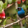 There are 18 species of flowerpiercers, most of these in the Andes, and here are a couple of nice examples from participant Kevin Heffernan: Masked Flowerpiercer...