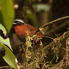 Here's another specialty that can be really difficult sometimes: the unusual Tanager Finch, photographed by participant Kevin Heffernan. It's confined to the west slope of the Andes in Colombia and NW Ecuador.