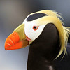 ...whereas the robust and downright gaudy Tufted Puffin occupies cavities on the cliff face. (Photo by guide Jesse Fagan)