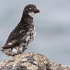 The diminutive Least Auklet in this image by guide George Armistead hides its nest in the boulder fields...
