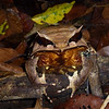 Who knows what we might encounter out there while birding? Did you ever even imagine that a creature as bizarre and wonderful as a Bornean Horned Frog exists? (Photo by guide Rose Ann Rowlett)