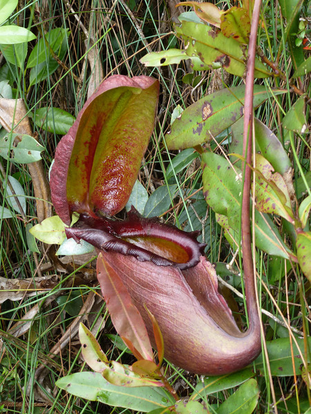 Another Borneo gee-whiz: Nepenthes rajah is an insectivorous pitcher plant whose traps are so large that small vertebrates have been documented to fall prey in its more than two liters (!) of digestive fluid. (Photo by guide Rose Ann Rowlett)