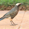 A regional specialty, White-crowned Starling is a distinctive bird of dry, open areas. This one is feeding on winged insects like the termite in its bill that have emerged after a recent rain, and the starling finds them easy hunting on the walkway of our hotel in Yabello.