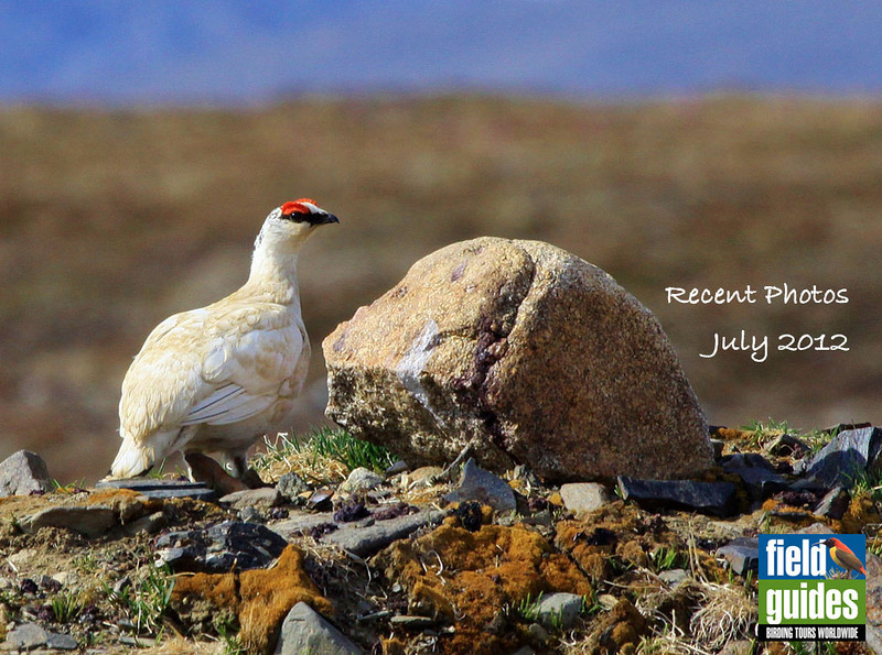 Summer is the time to head to the Arctic, and we begin this month's gallery of recent tour photos with images from our two Alaska tours, including this lovely setting for a Rock Ptarmigan, still in winter white near Nome, by guide Jesse Fagan. Enjoy the show!