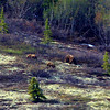 It is always a thrill to see grizzlies when we are in Denali but...