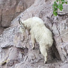 Some of the more unusual mammals in North America, Mountain Goats are often remarkably cooperative in Glacier National Park at Logan Pass. (Photo by participant Pat Newman)