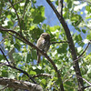 Passerines beware!  The Northern Pygmy Owl is a diurnal hunter of songbirds, and this one looks like it has a particularly sharp eye out. (Photo by participant Bob Fishel)