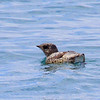 Seeing Kittlitz's Murrelet is always a highlight of the Seward boat trip. (Photo by guide Jesse Fagan)