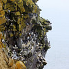 Where cliffs rise up from the Bering Sea, hundreds of thousands of seabirds nest on St. Paul, including seven species in the Auk family. (Photo by guide Jesse Fagan)