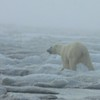 When in Barrow, our guides know to keep a sharp eye out for Polar Bears as well as birds...and we were thankful this individual was headed in the right direction!<br /> (Photo by guide Jesse Fagan)