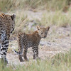 ...and this wonderful Leopard with cub. (Photo by participant Ken Havard)
