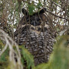 This Abyssinian (or African Long-eared) Owl was a fantastic treat on a dayroost as well. (Photo by participants David & Judy Smith)