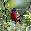 Second, third, fourth, and fifth prizes might easily be assigned to: a glorious male Painted Bunting in full song... (Photo by participant Mary Lou Barritt)