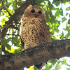 Pel's Fishing-Owl is among the most-wanted of birds on this tour, and the species came through in spades this year, with an unprecedented four seen during our stay at Botswana's Xaro Lodge! (Photo by participant Ken Havard)