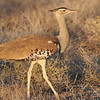 The stately Kori Bustard ranges more widely across the continent. (Photo by participant Ken Havard)