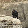 Our group enjoyed watching 5 individual California Condors, including this one photographed by guide John Coons...