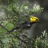 "First prize on the tour goes to Golden-cheeked Warbler. It nests exclusively on the Edwards Plateau -- it doesn't get any more ""Hill Country"" than this! (Photo by guide Chris Benesh)"