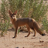 East Africa gets the big press for mammal-viewing, but this tour's no slouch either: we spotted 45 species along the way, including this Cape Fox... (Photo by participant Ken Havard)