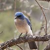 ...a subtle but lovely Mexican Jay... (Photo by participant Mary Lou Barritt)