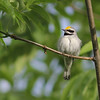 The warblers are, of course, the stars of the show (all 25 of them!), from Golden-winged Warbler in this photo by guide Eric Hynes...