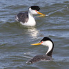 ...and a striking pair of Clark's Grebes on Lake Balmorhea. (Photo by guide Chris Benesh)